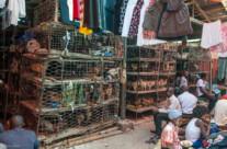 chickens in ovino market