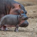 the next hippo generation