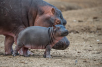 the next hippo generation