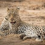 leopard in queens national park