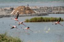 cranes at katwe salt lake